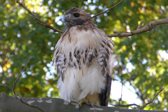 A well fed hawk rests marshside in the Crane Wildlife Refuge