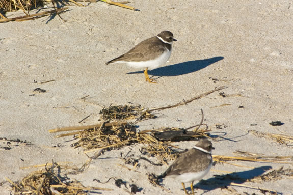Piping Plovers can be found all over the Parker River National Wildlife Refuge