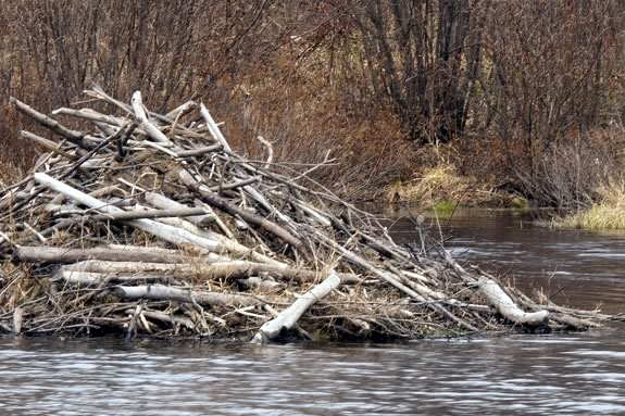 Beavers are natural builders. We'll explore their instinct to build at IRWS.