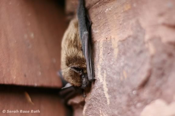 Kids will learn about bats at Joppa Flats Education Center in Newburyport. Image ©Serah Rose Roth