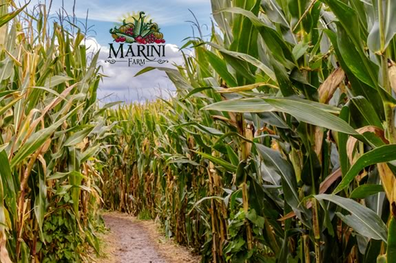 The 2020 Marini Farm Corn Maze in Ipswich Massachusetts!