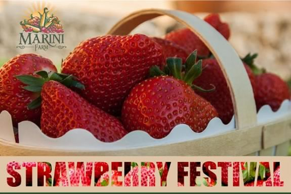 Marini Farm Strawberry Festival ipswich Massachusetts