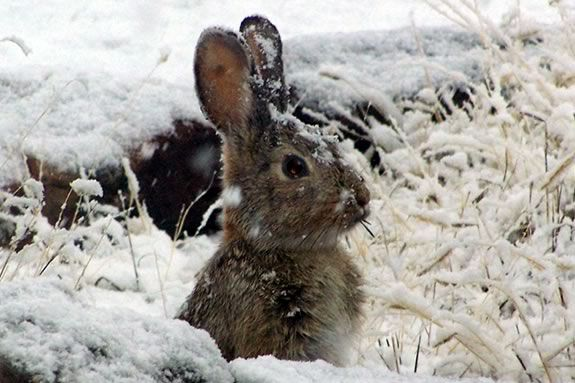 What animals do you see in winter?  Find out at IRWS in Topsfield Massachusetts