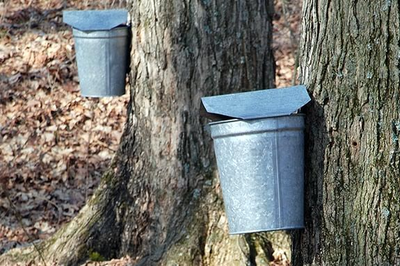 Learn how to harvest Maple Sap and convert it to Maple Syrup at IRWS!
