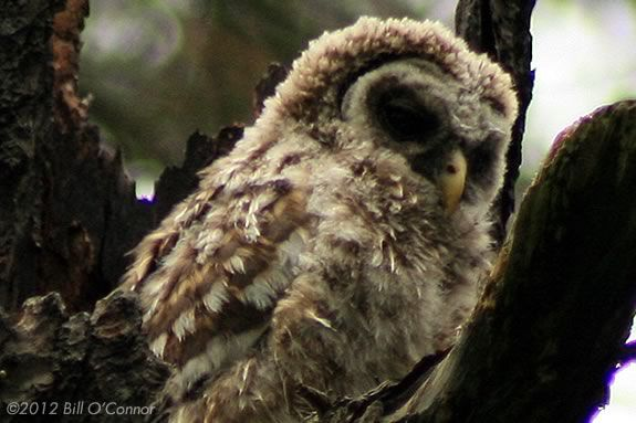 Have you ever walked through the woods looking for owls during the day?