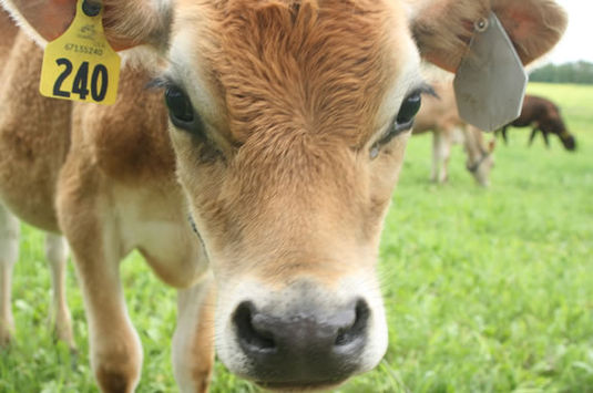 Mini moos is for children 2-5 to meet our dairy herd at Appleton Farms.
