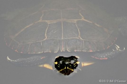 Painted Turtles are just one of the hibernating creatures at Ipswich River Wild