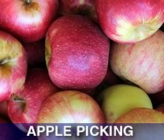 Check out North Shore Kid's great selection of places to pick your own apples north of Boston. Massachsuetts North Shore Apple Orchards