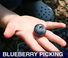Check out North Shore Kid's great selection of places to pick your own blueberries north of Boston. Massachsuetts North Shore Blueberry Picking