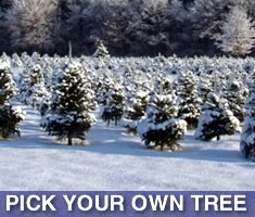 North Shore Kid's list of places to pick your own Holiday Christmas Tree North of Boston Massachusetts!