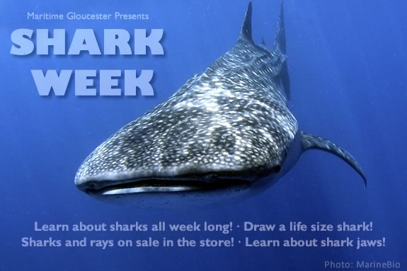Learn about sharks all week long at Maritime Gloucester!