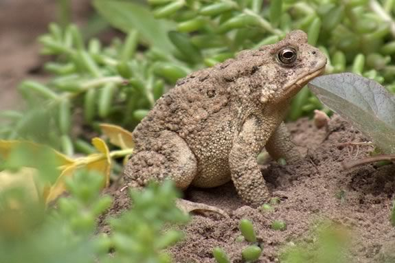 Join the Trustees of Reservations at  the Crane Wildlife Refuge in Ipswich Massachusetts in search of the American Toad!