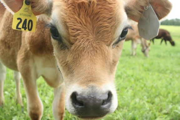 Come meet a dairy farmer and members of the Appleton Farms Dairy herd in Ipswich Massachusetts!