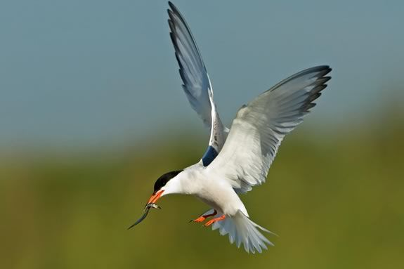 Kids will learn about geese and terns in this fun learning session at Joppa Flats Education Center! Photo: A common Tern from the Audubon Field Guide