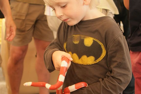 Albino Milk Snake being held by a child at Cape Ann Vernal Pond Team.
