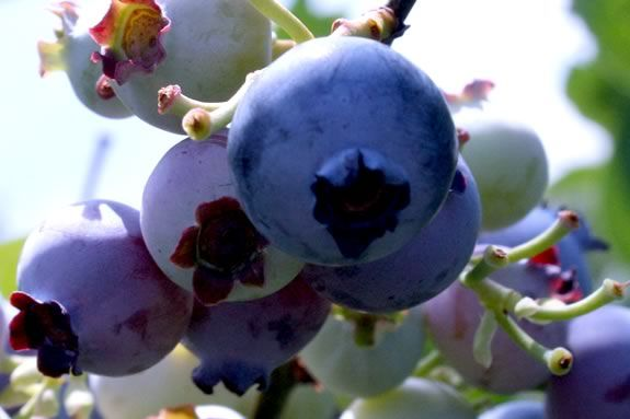 Come Celebrate Blueberry Season at Connors Farm in Danvers Massachusetts!