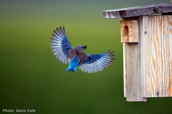 Bring the kids and learn how to build a bluebird house at Mass Audubon's IRWS