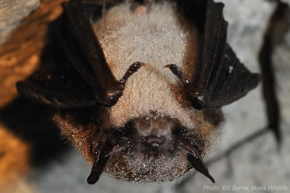 Learn about bats and the role they play in the ecosystem at Maudlsay State Park in Newburyport with DCR Bat Research Monitor Amanda Melinchuk