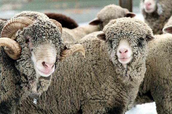 Gore Place Sheep Shearing Festival Waltham MA for North Shore Children Families