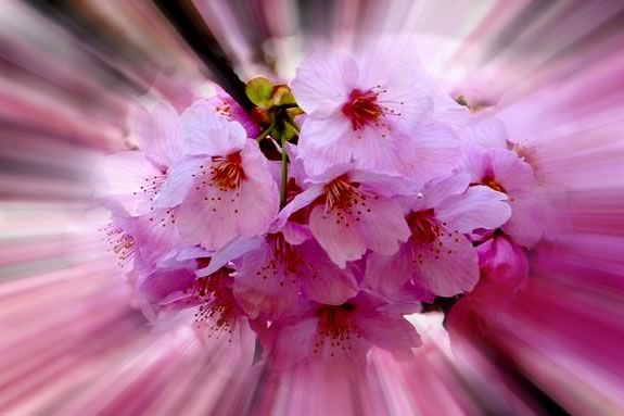Celebrate Japan's 100 year old gift of cherry Trees to the US at Peabody Essex