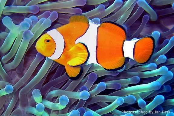 The anenome - clown fish relationship is a classic example of symbiosis.