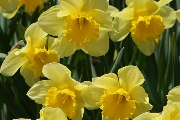 D Day stands for Daffodil Day at Sedgweick Garden in Beverly Massachusetts