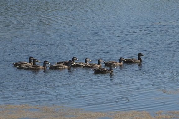 Learn about ducks and their migration patters at Ipswich River Wildlife Sanctuary!