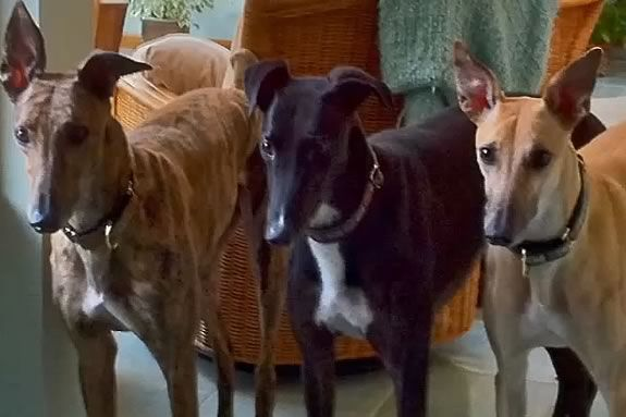 Learn about the greyhound breed and it's history at the Newburyport Library!