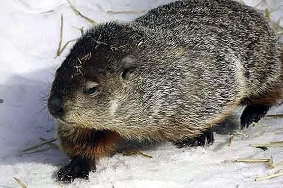 Take a closer look at Groundhog Day with the naturalists at Ipswich River Sanctu