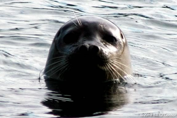 Search for seals in the Merrimack Estuary with Joppa Flats Education Center!