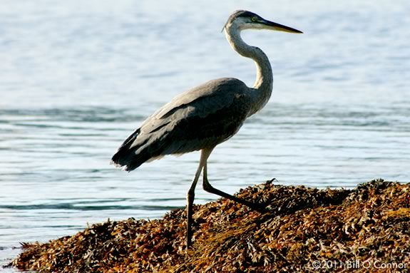 The largest heronry in Massachusetts is just off of Coolidge Point in Manchester