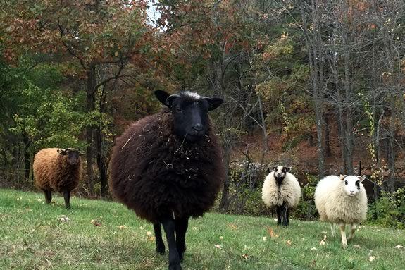 sheep sheering demonstration at iFarm in Boxford Massachsuetts