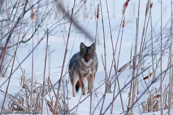 Mass Audubons Ipswich River Wildlife Sanctuary invites you to come learn about coyotes!