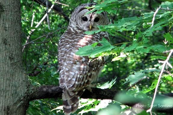 At ipswich River Wildlife Sanctuary we'll look and listen for owls as we paddle