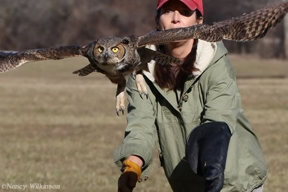 Jane Kelly of On the Wing rehab in Epping NH releases an rehabbed owl