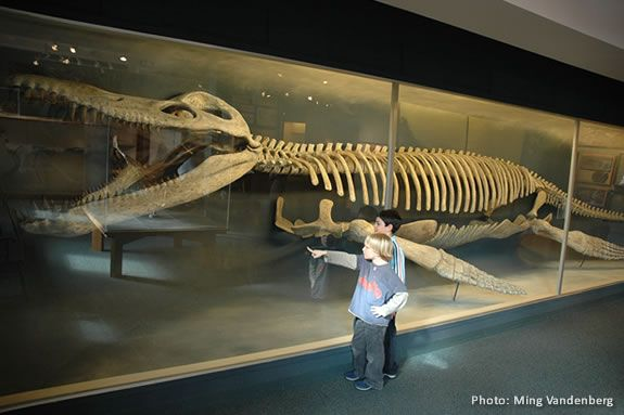 Kronosaurus is the biggest fossil at HMNH, but there are many others!