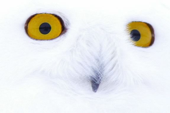Come see 'The Magic of the Snowy Owl' at Parker River National Wildlife Refuge in Newburyport