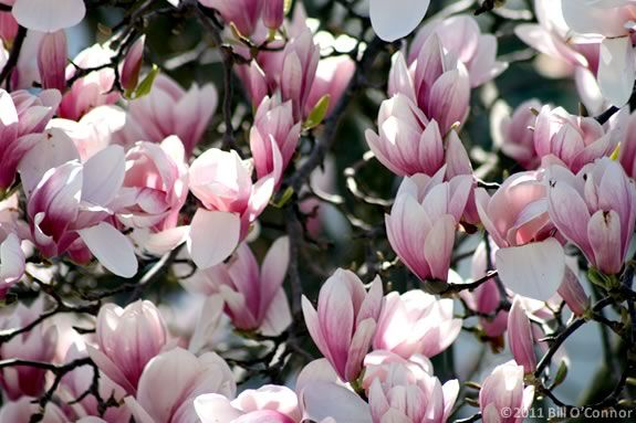 Magnolia flowers are just one of the flowering trees you'll see at Maudslay State Park along the Merrimack River in Newburyport, Massachusetts