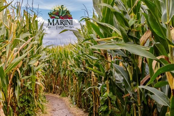 The 2020 Marini Farm Corn Maze in Ipswich Massachusetts!