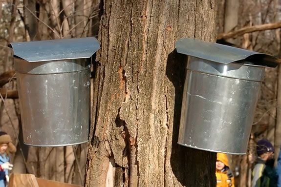 Appleton Farms has their own sugar maple syrup production facilities.