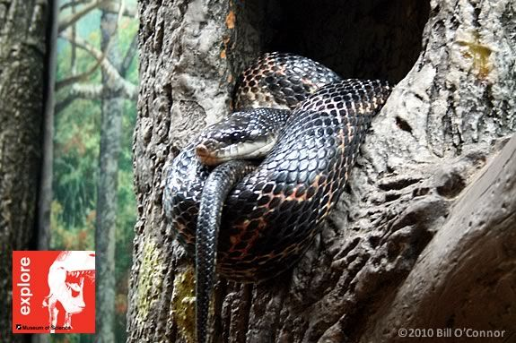 Kids will learn about snakes and other reptiles at the Hamilton Wenham Library!