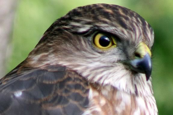 Kids ages 7-14 will learn about Winter raptors that live on the North Shore at Mass Audubon's Joppa Flats Education Center in Newburyport!