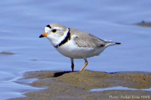 Piping Plover at Parker River National Wildlife Refuge in Newbury Massachusetts!