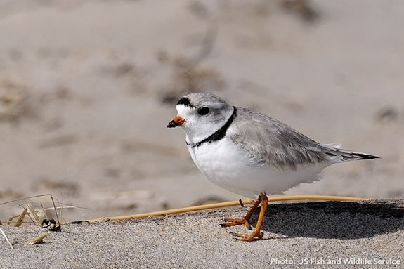 Piping Plover isjust one of the endangered species you'll learn about at the Parker River National Wildlife Refuge