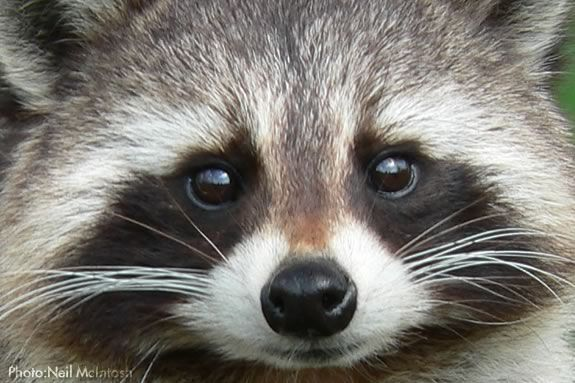 Learn about nocturnal animals like racoons at this Afterschool workshop