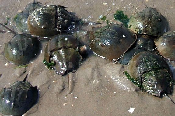 Explore the Joppa Flats Education Center for signs of Horsshoe crabs!