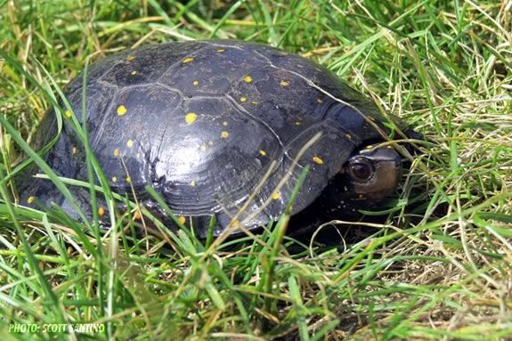 Turtle Power! A spotted turtle at the ipswich River Wildlife Sanctuary. Photo: Scott Santino