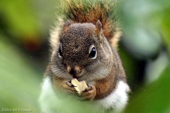 Learn about Squirrels at Mass Audubon's Ipswich River Wildlife Sanctuary in Topsfield Massachusetts. Photo ©Bill O'Connor
