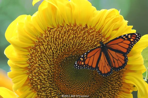 Kids will learn about monarch butterflies at the Stevens-Coolidge Estate in North Andover!