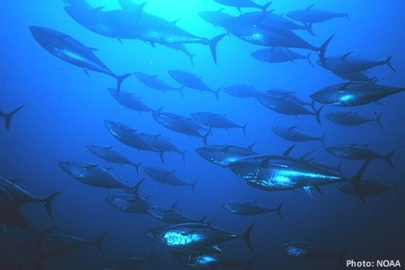 Is your Tuna farmed or wild and what's the difference? Find out at Joppa Flats!